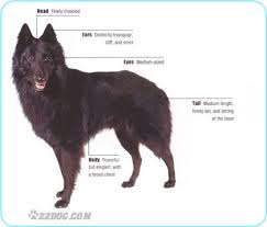 belgian sheepdog artwork de 15 bästa belgian sheepdogs best dogs ever bilderna på