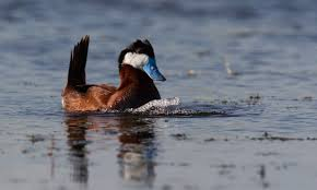 ruddy duck birds of north america online
