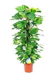 live indoor plants indoor live plants indoor house plants sale large live house plants