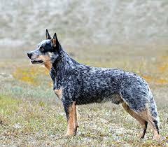 australian shepherd zucht deutschland australian cattle dog wikiwand