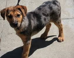 australian shepherd club qld catahoula shepherd mix pup ranger queensland heeler australia
