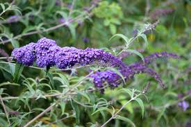 Types Of Flowering Bushes And Shrubs