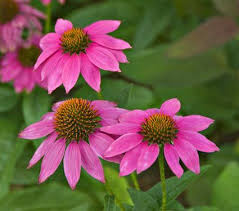 echinacea flower echinacea coneflower plants more white flower farm