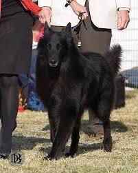belgian sheepdog california welcome to the dogbreedz blog 12 11 2012 model call