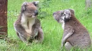 Angry Koala Meme - koala fight youtube