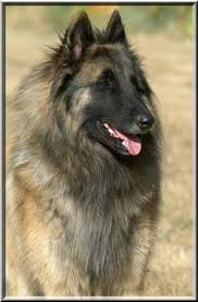 belgian sheepdog brown belgian tervuren favorite dog breeds pinterest belgian tervuren