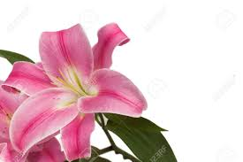 Pink Lily Flower Pink Lily Flower Arrangement On White Background Stock Photo