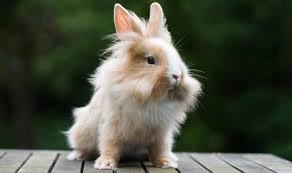 Come Costruire Una Casetta Per Conigli by Coniglio Nano Domestico Razze Comportamento E Prezzo