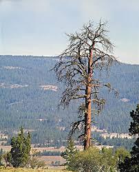 oregon s lightning tree
