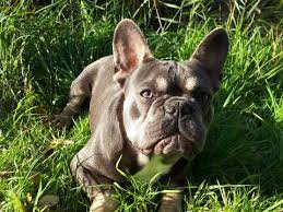 french bulldog dogs and puppies for stud in grays pets4homes