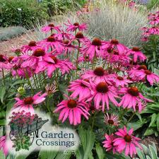 Echinacea Flower Echinacea Care Planting Growing U0026 Cultural Information