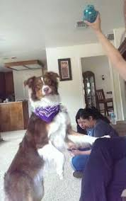 7 month old australian shepherd puppy my aussie has a thin coat