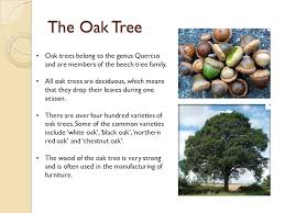 the oak tree symbolism in writing ppt