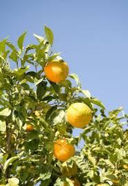how to plant orange seeds lovetoknow