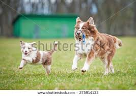 playing with australian shepherd active dog stock photos royalty free images u0026 vectors shutterstock