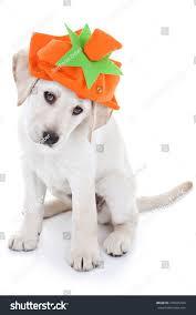 halloween background puppy halloween thanksgiving labrador puppy dog wearing stock photo