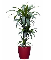 janet craig dragon tree dracaena fragrans 3 5