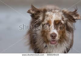 australian shepherd san diego cat sneezes making funny expression sick stock photo 372314455