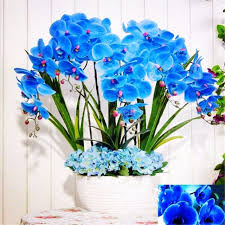 potted flowers phalaenopsis orchids phalaenopsis seeds potted flowers indoor