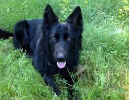 belgian sheepdog gifts raven fidelco guide dog foundation inc
