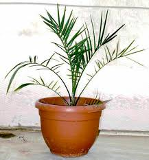 methuselah u0027 palm grown from 2 000 year old seed is a father
