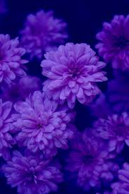 purple and blue flowers file midnight s garden indigo purple blue flowers free creative