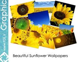 sunflower wallpapers ogpoduncsum sunflower wallpapers