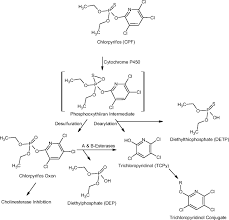 in vitro age dependent enzymatic metabolism of chlorpyrifos and
