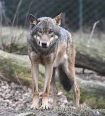 a wolf has been spotted in belgium for the in 100 years