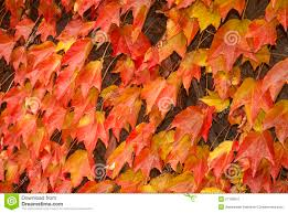 climbing plants for walls in fall stock photo image 27790910