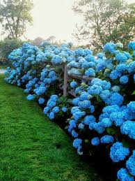 serenity in the garden no fail tips for turning hydrangeas blue