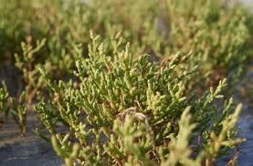 salicorne cuisine salicorne un légume de choix en cuisine et pour préserver sa santé