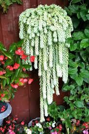 429 best weeping succulents images on pinterest plants flowers