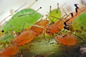 Pictures Of Tiny Red Bugs by Aphids Also Greenflies U0026 Blackflies Get Rid Of These Common