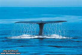 إنه مخلوق ضخم جداً يعتبر أكبر مخلوق على الأرض، إ Images?q=tbn:ANd9GcTfX-GjIzFd_fs2vwdS-GEoI6GHpEGBGjX1k51_DgkY4eS9MjrT3Q