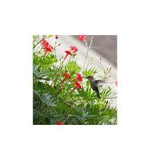 cardinal climber ipomoea multifida