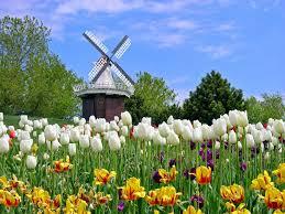 wallpaper bunga tulip hd bunga tulip wallpapers download free 398726