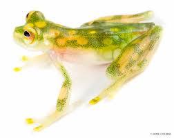 the amphibians of mashpi u2013 types of toads and frogs mashpi lodge