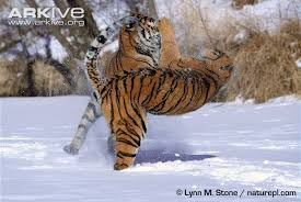 tiger photo panthera tigris g4077 arkive