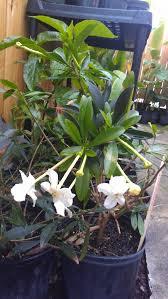 Tropical Fragrant Plants - new plants u0026 this week u0027s hours 4 2 u2013 4 6 2013 exotica tropicals