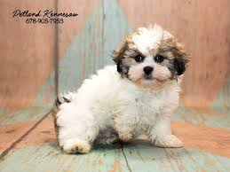 shi poo 10 things you should know about shih poo puppies petland mall