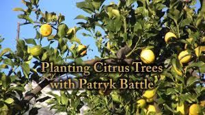 planting citrus trees in sandy soil youtube