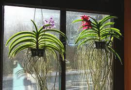 vanda orchids growing vanda orchids gardeners tips