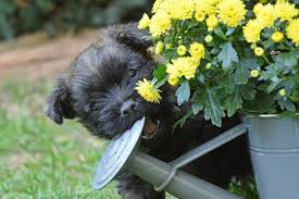 affenpinscher zucht deutschland kalender cairn terrier förderverein
