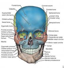 Human Jaw Bone Anatomy Bone Anatomy Overview Mandible Maxilla