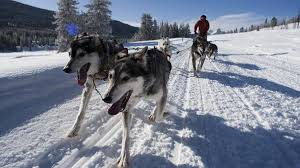 jackson hole iditarod sled dog tours jackson travel wyoming