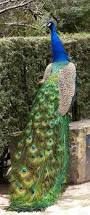 395 best peacocks images on pinterest peafowl peacocks and animals