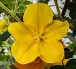 Image result for Fremontodendron californicum