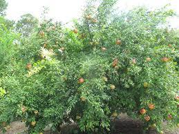 nikitski ranni pomegranate just fruits and exotics