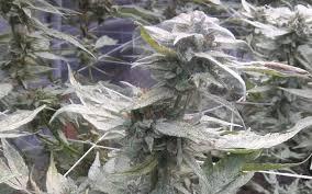 grow q u0026a what u0027s the best grow light for big yields high times